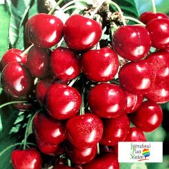 Variete-cerise-cerisier-Dalival-Staccato
