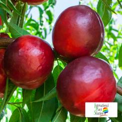 Variete-nectarine-arbre-Dalival-Big-Glory