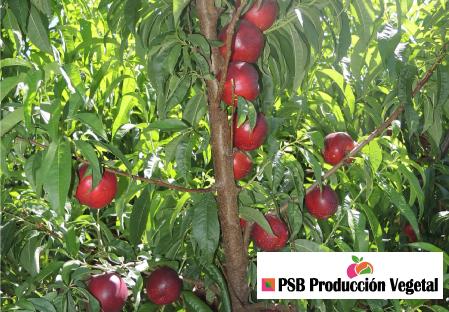 Variety nectarine tree Dalival Boreal