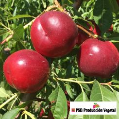 Variete-nectarine-arbre-Dalival-Boreal