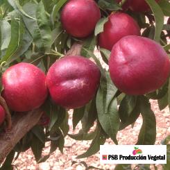 Variete-nectarine-arbre-Dalival-Garcica