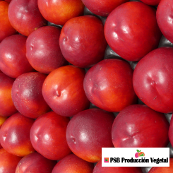 Variete-nectarine-arbre-Dalival-Garofa
