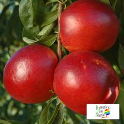 Variete-nectarine-arbre-Dalival-Honey-Cascade