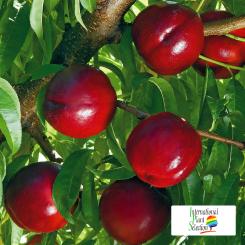 Variete-nectarine-arbre-Dalival-Honey-Fire
