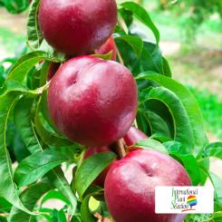 Variete-nectarine-arbre-Dalival-Honey-Glory