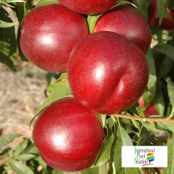 Variete-nectarine-arbre-Dalival-Honey-Late