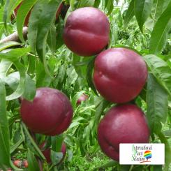 Variete-nectarine-arbre-Dalival-Honey-Queen