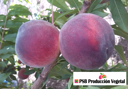 Variety peach tree Dalival Artemis