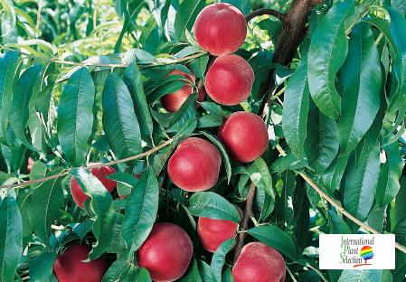 Variety peach tree Dalival Maura