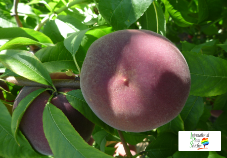 Variety peach tree Dalival Miranda