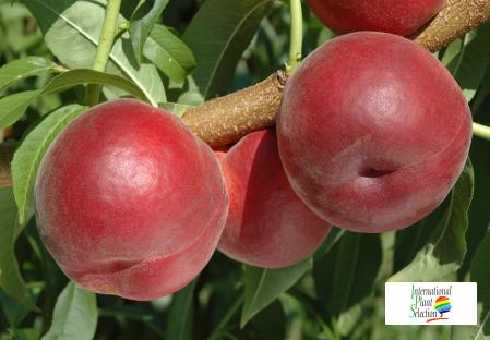 Variety peach tree Dalival Nabby