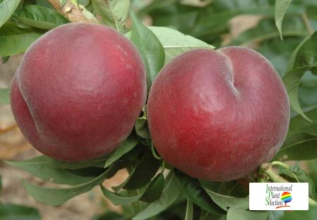 сорт Персик Персиковое дерево даливал Nerisa НЕРИЗА