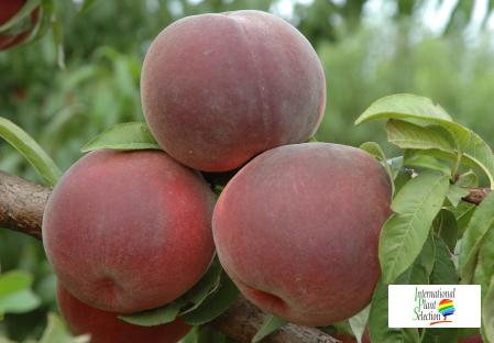 Variety peach tree Dalival Octavia