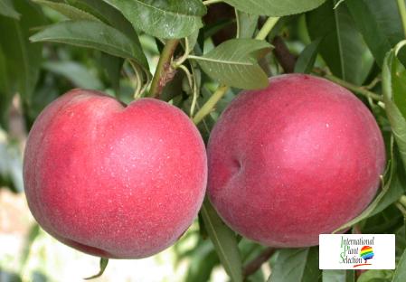 Variety peach tree Dalival Patty
