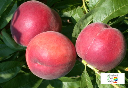 Variety peach tree Dalival Rosalia