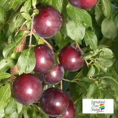 Variete-prune-prunier-Dalival-Crimson-Glo