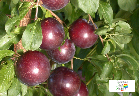 сорт Слива Сливовые деревья даливал Crimson Glo КРЫМСОН ГЛОБ