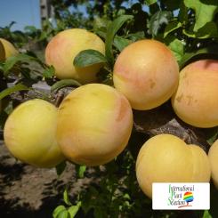 Variete-prune-prunier-Dalival-Golden-Globe