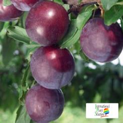 Variete-prune-prunier-Dalival-Hiromi-Red
