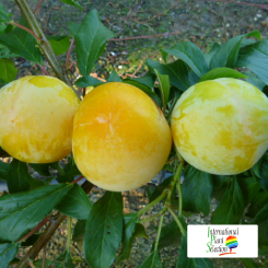 Variete-prune-prunier-Dalival-Moon-Globe