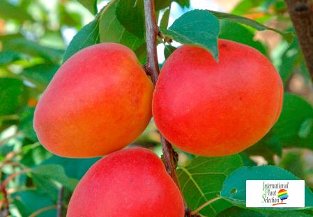 Variety apricot tree Dalival Faralia Carmingo