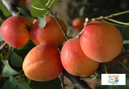 Variety apricot tree Dalival Farbaly Carmingo