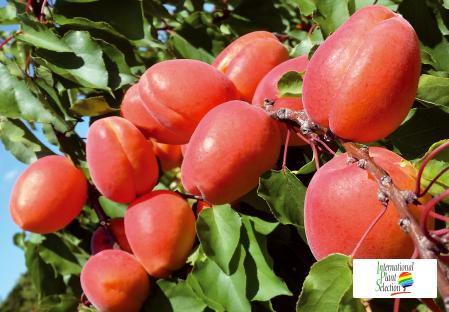 Variety apricot tree Dalival Farbela Carmingo