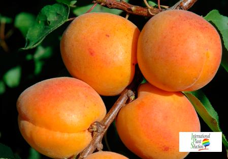 Variety apricot tree Dalival Farclo Carmingo