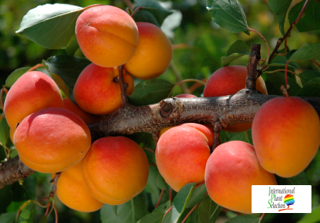 Variete abricot abricotier Dalival Farely Carmingo