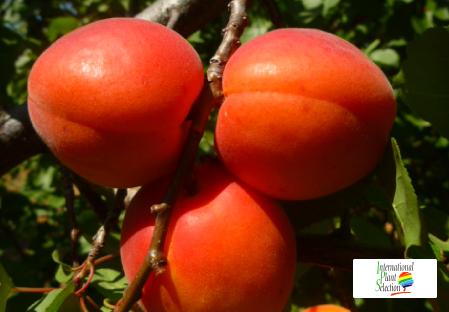 Variety apricot tree Dalival Medoly Carmingo