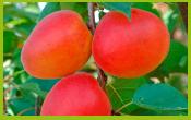 vignette-fruit-ABRICOT