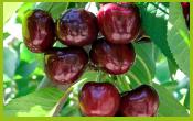 vignette-fruit-CERISE2