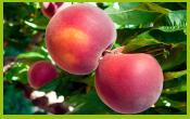 vignette-fruit-PECHE