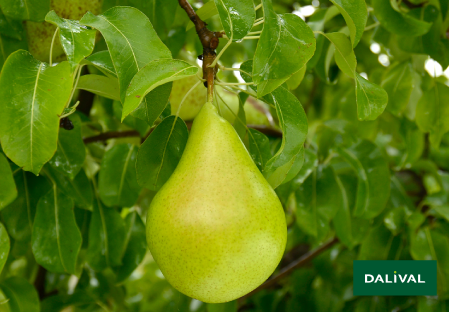 Birnensorten - Dalival - Migo® Cepuna