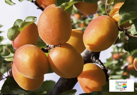 variété abricot Dalival Primidi