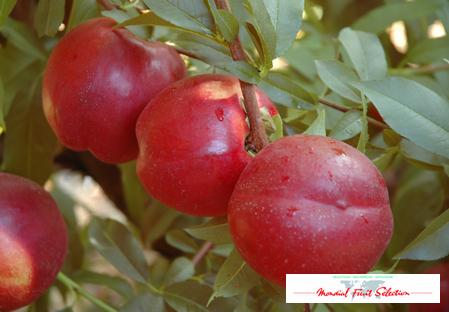 nectarine variety dalival big top zaitabo