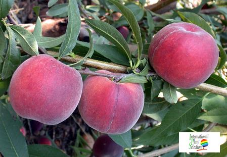 peach variety dalival royal delicious  ZAI606PJ