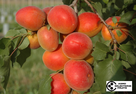 Variety apricot tree Dalival Aprisweet