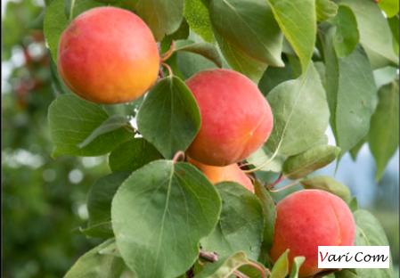 Variété – Abricot- Abricotier- Dalival - Elsa