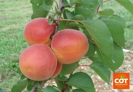 Variété – Abricot – Abricotier - Dalival – Delice cot