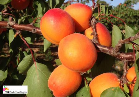 Variété – Abricot – Abricotier - Dalival – Flopria