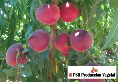 Variety – Peach – Peach tree - Dalival – Pampana