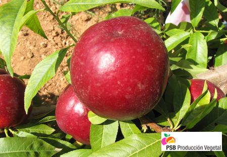 Variety - Nectarine - Dalival – Clariss
