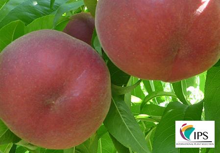 Variety – Peach – Peach tree - Dalival – ASPEN WHITE